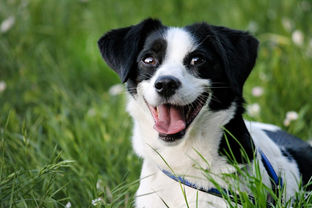 Cute black & white dog laying on the grass